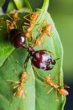 Красная армия муравеев Стоковая Фотография