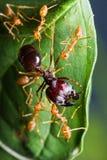 Красная армия муравеев Стоковая Фотография RF