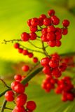 Красная ладонь, финиковая пальма карлика Стоковые Изображения