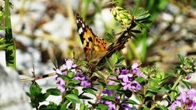 Красная бабочка на цветках горы стоковое изображение rf