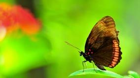 Красная бабочка оправы (нижняя сторона) Стоковые Фото