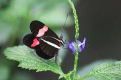 Красная бабочка цветка страсти Стоковая Фотография