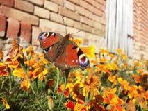 красная бабочка стоковые изображения