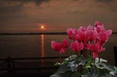 Красная бегония цветет с восходом солнца в утре Стоковое Изображение RF
