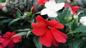 красная белизна Стоковые Фото