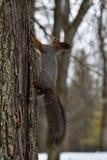 Красная белка взбираясь вверх на дереве Стоковая Фотография RF