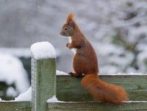 Красная белка в снежке Стоковые Изображения RF