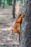 Красная белка грызет гайки в парке стоковое фото rf