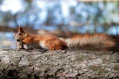 Красная белка грызет гайки в парке стоковая фотография