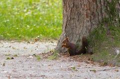 Красная белка есть гайку рядом с деревом Стоковая Фотография