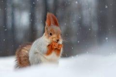 Красная белка ест гайку сидя на снеге Стоковые Фотографии RF
