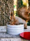 Красная белка ест гайку стоковые фотографии rf