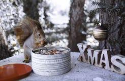 Красная белка ест гайку стоковое фото rf
