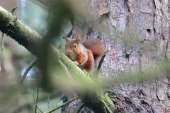 Красная белка на ветви в Formby Стоковое фото RF