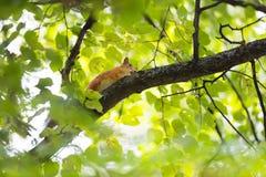 Красная белка на ветви дерева в зеленых листьях Стоковые Изображения RF