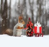 Красная белка сидит на снеге около малой рождественской елки Стоковые Фото