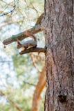 Красная белка сидя на мхе покрыла пень дерева Стоковая Фотография RF