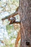Красная белка сидя на мхе покрыла пень дерева Стоковое фото RF