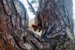 Красная белка сидя на мхе покрыла пень дерева Стоковые Изображения RF