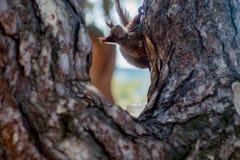 Красная белка сидя на мхе покрыла пень дерева Стоковая Фотография