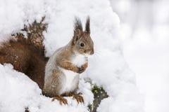 Красная белка сидя на стволе дерева покрытом с белым снегом стоковые изображения