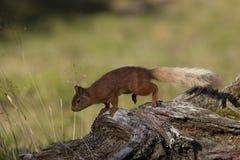 Красная белка, Sciurus vulgaris, ища для и есть гайки в glade сосновой древесины во время солнечного утра Caringorm NP, Шотландия стоковые фото