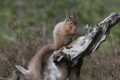 Красная белка, Sciurus Vulgaris, сидя и идя вдоль ветви сосны около вереска в лесах соотечественника cairngorms, Шотландии Стоковое фото RF