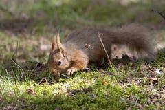 Красная белка, Sciurus Vulgaris, сидя на земном близко вереске в лесах соотечественника cairngorms, Шотландия Стоковые Фотографии RF