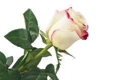 Красная белая роза Стоковые Фотографии RF