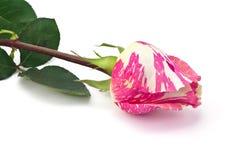Красная белая роза Стоковые Изображения RF