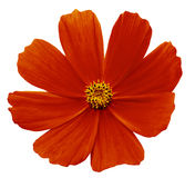 Красная белизна Kosmeja цветка изолировала предпосылку с путем клиппирования Отсутствие теней closeup Стоковая Фотография