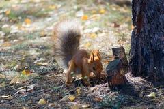 Красная белка выкапывает хоронить гайки в лесе Стоковая Фотография