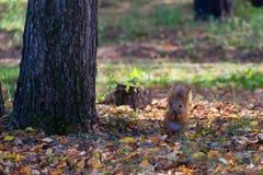 Красная белка в лесе есть фундук Стоковое фото RF