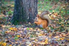 Красная белка в лесе есть фундук Стоковая Фотография