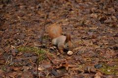 Красная белка в еде парка грецкие орехи Стоковая Фотография