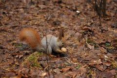 Красная белка в еде парка грецкие орехи Стоковые Изображения RF