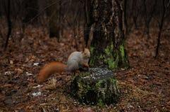 Красная белка в еде парка семена подсолнуха Стоковая Фотография