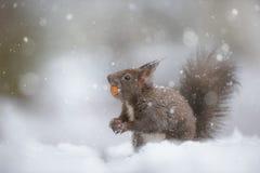 Красная белка в падении снега зимы стоковое изображение rf