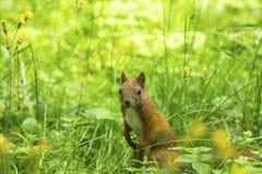 Красная белка в толстой зеленой траве Природа Стоковые Изображения