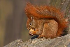 Красная белка есть грецкие орехи Стоковые Изображения RF