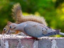 Красная белка и голубь утра Стоковая Фотография