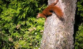 Красная белка на ветви Стоковая Фотография RF