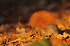 Красная белка на упаденных листьях Стоковое Изображение