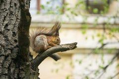 Красная белка сидит на ветви дерева в парке города Стоковые Изображения