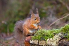 Красная белка сидя в английском лесе Стоковые Изображения RF