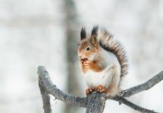 красная белка сидя на ветви в парке и ест гайку Стоковое Фото
