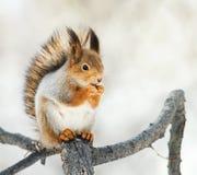 красная белка сидя на ветви в парке и ест гайку Стоковая Фотография