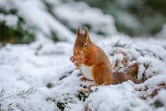 Красная белка собирая еду в зиме Стоковая Фотография