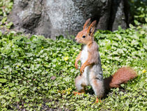 Красная белка стоя на зеленой траве около дерева Стоковое фото RF