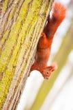красная белка Стоковое Фото
